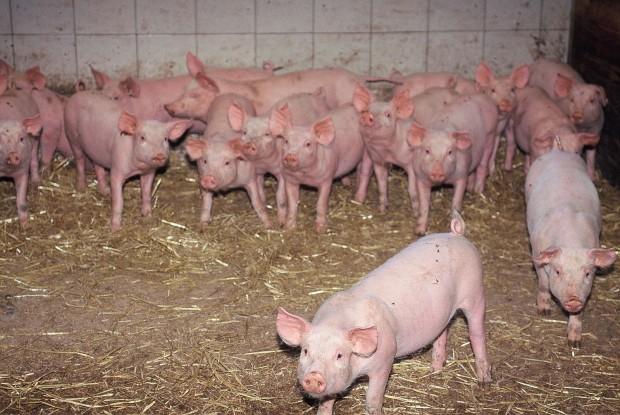Die Schweine vom Simonbauer